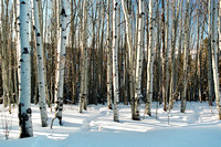 0113_Aspen Trees in Colorado