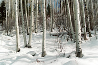 0162_Aspen Trees in Colorado